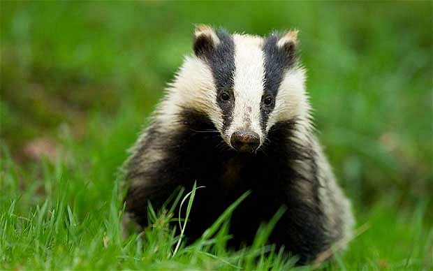 Badger - Photo#02
