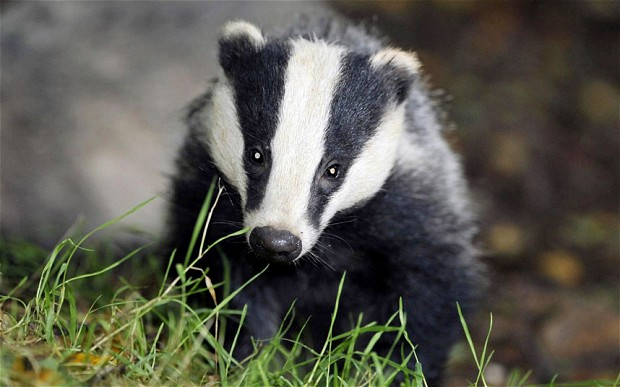 Badger - Photo#03