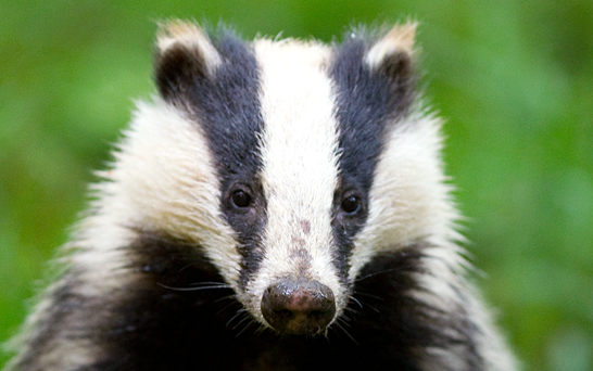 Badger - Photo#04