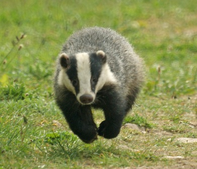 Badger - Photo#05