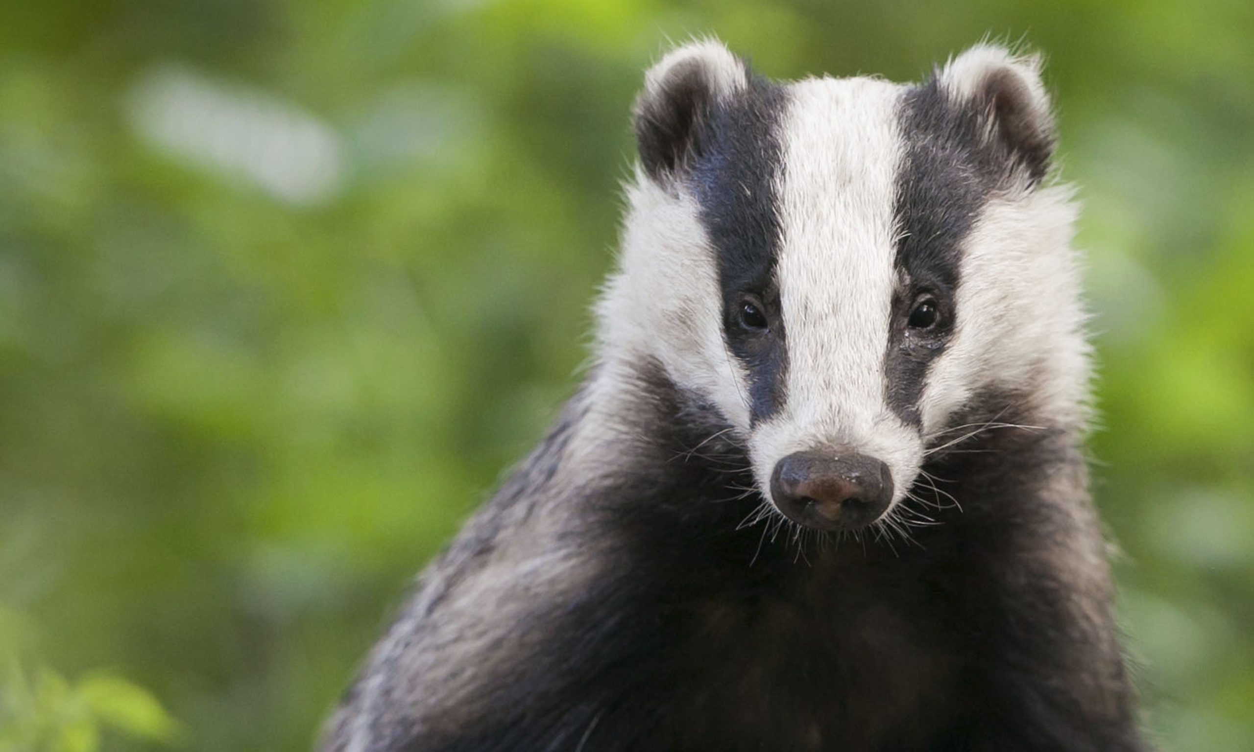 Badger - Photo#06