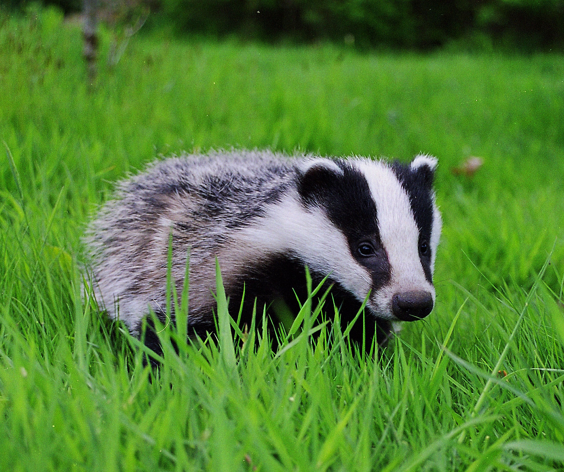 Badger - Photo#07