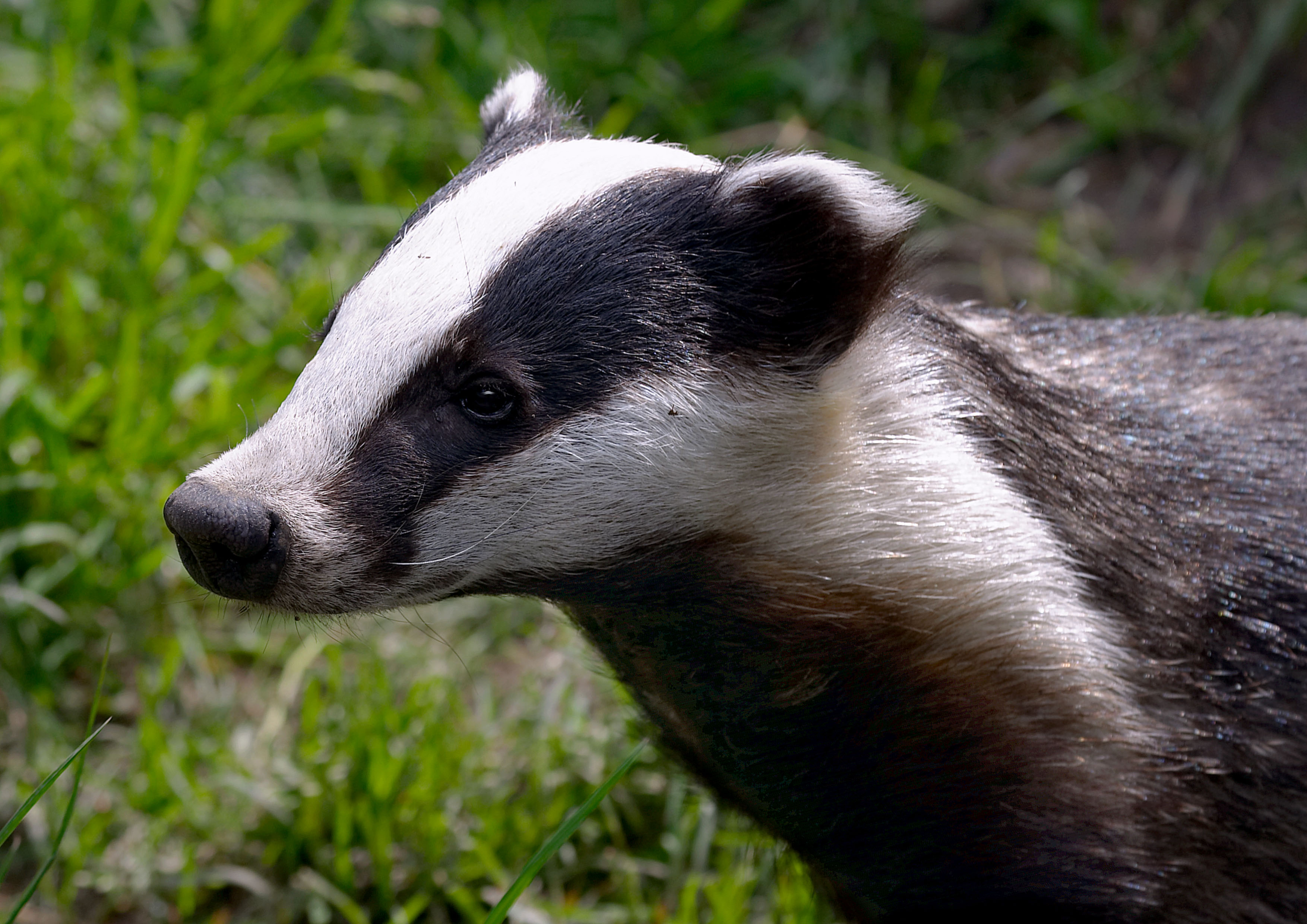Badger - Photo#08