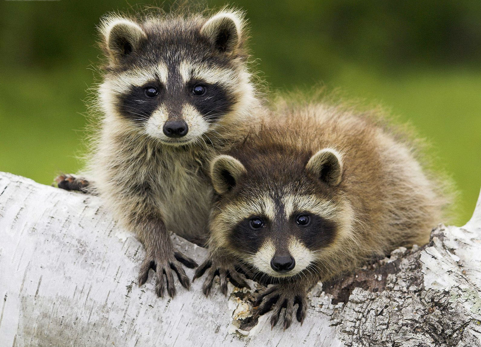 Raccoon - Photo#01