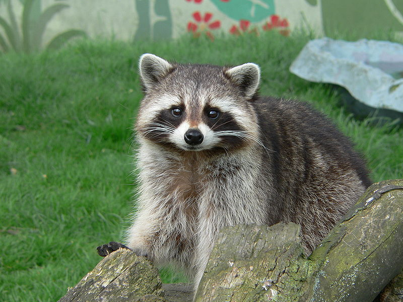 Raccoon - Photo#02
