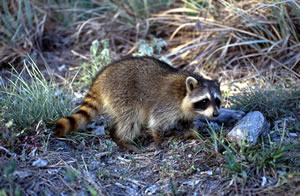 Raccoon - Photo#03