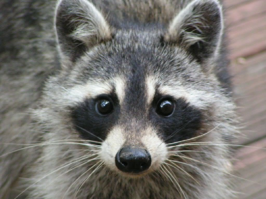 Raccoon - Photo#04