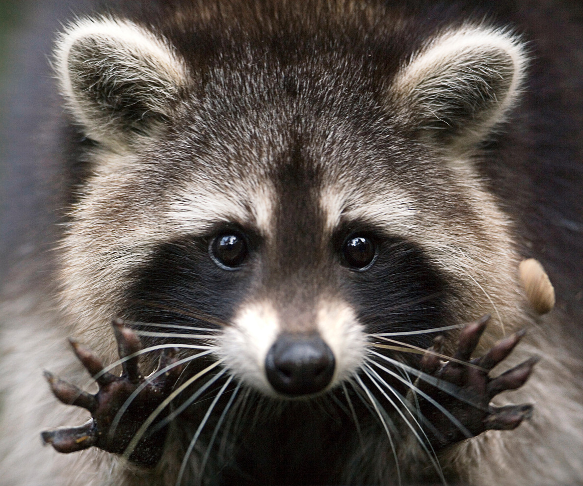 Raccoon - Photo#05