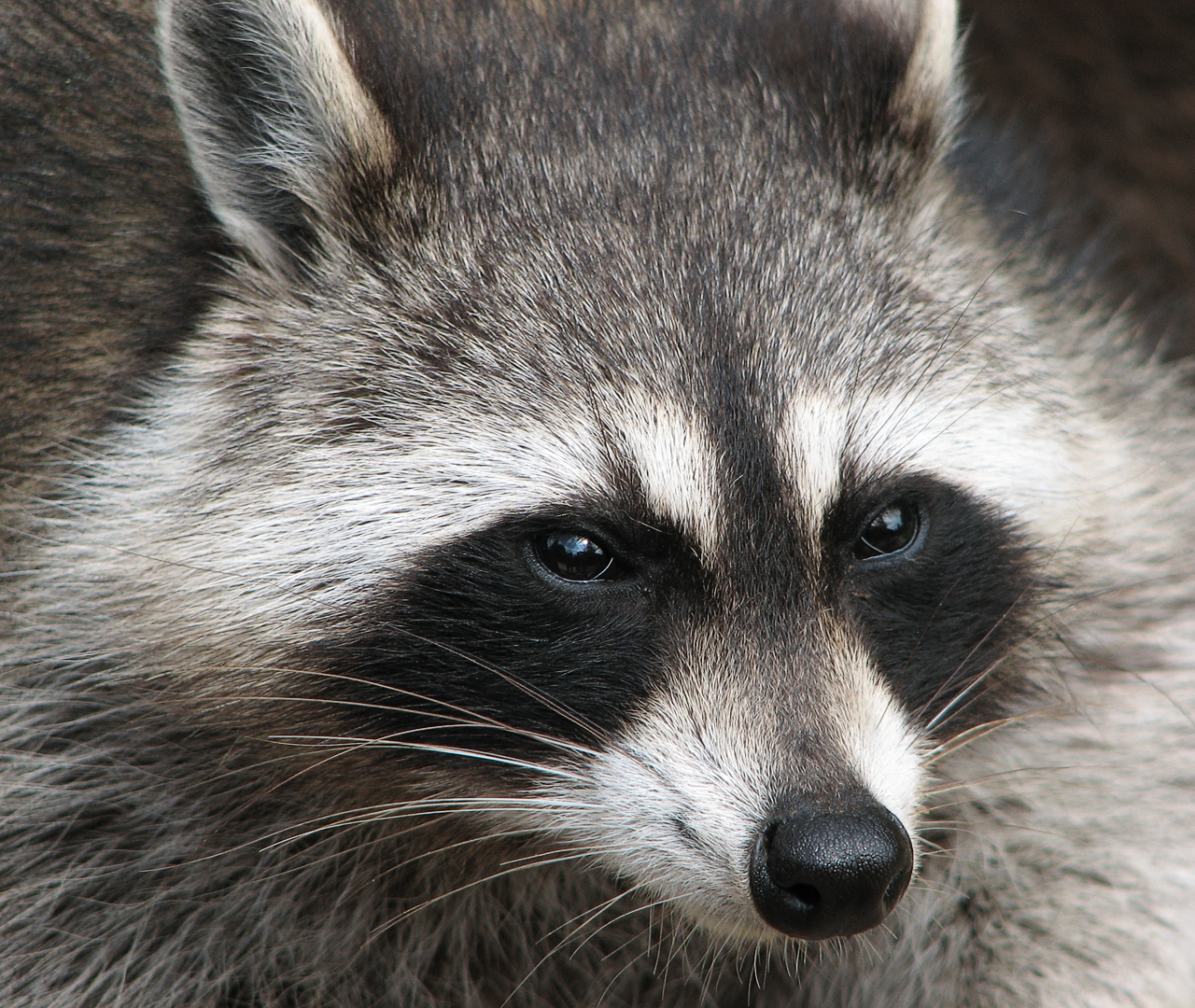 Raccoon - Photo#06