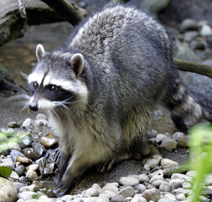 Raccoon - Photo#07