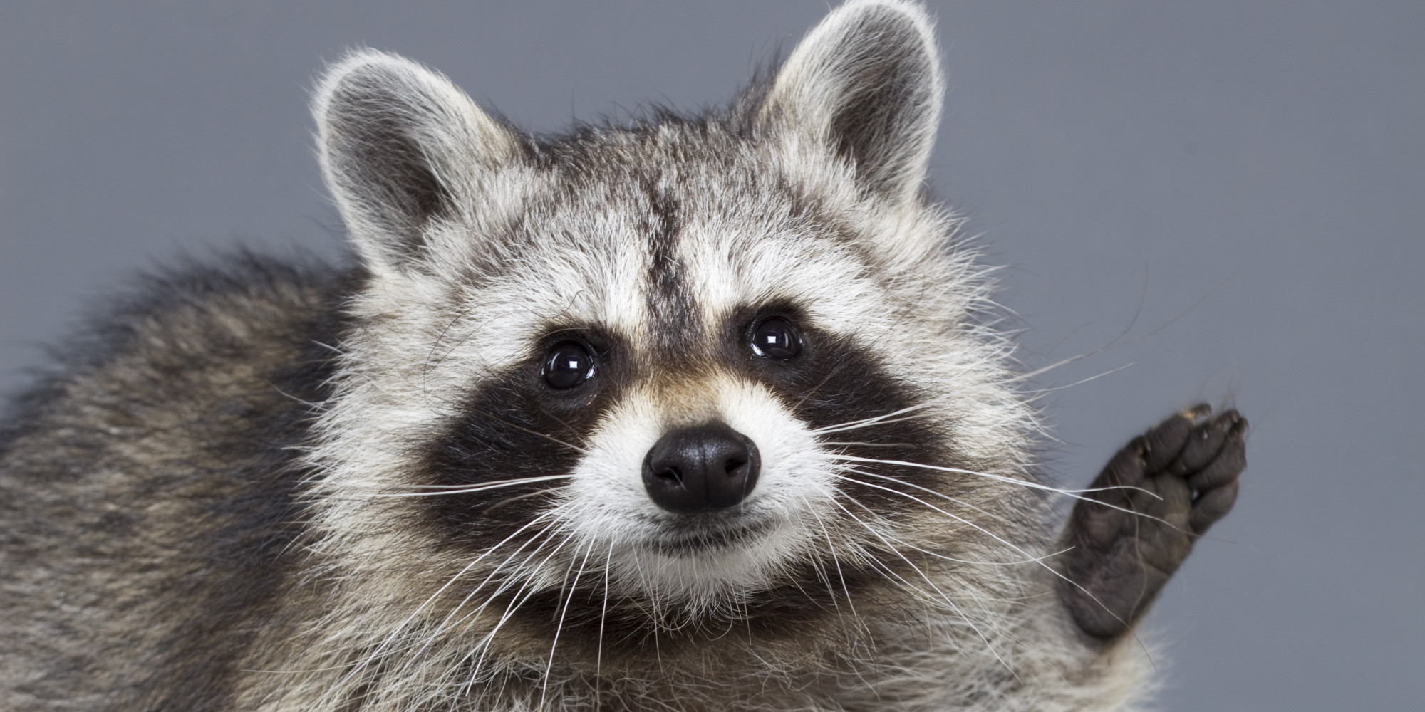 Raccoon - Photo#08