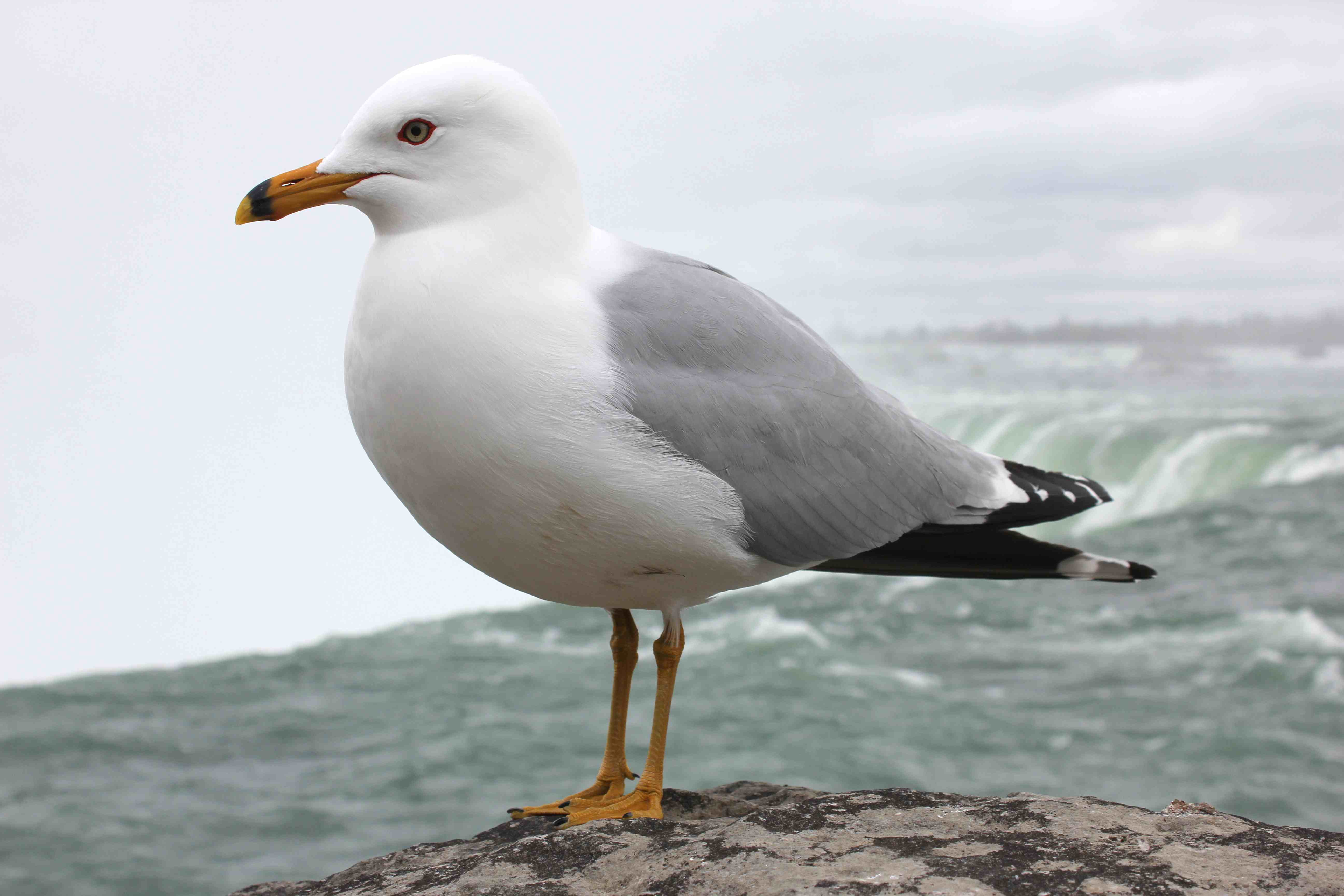 Seagull - Photo#01