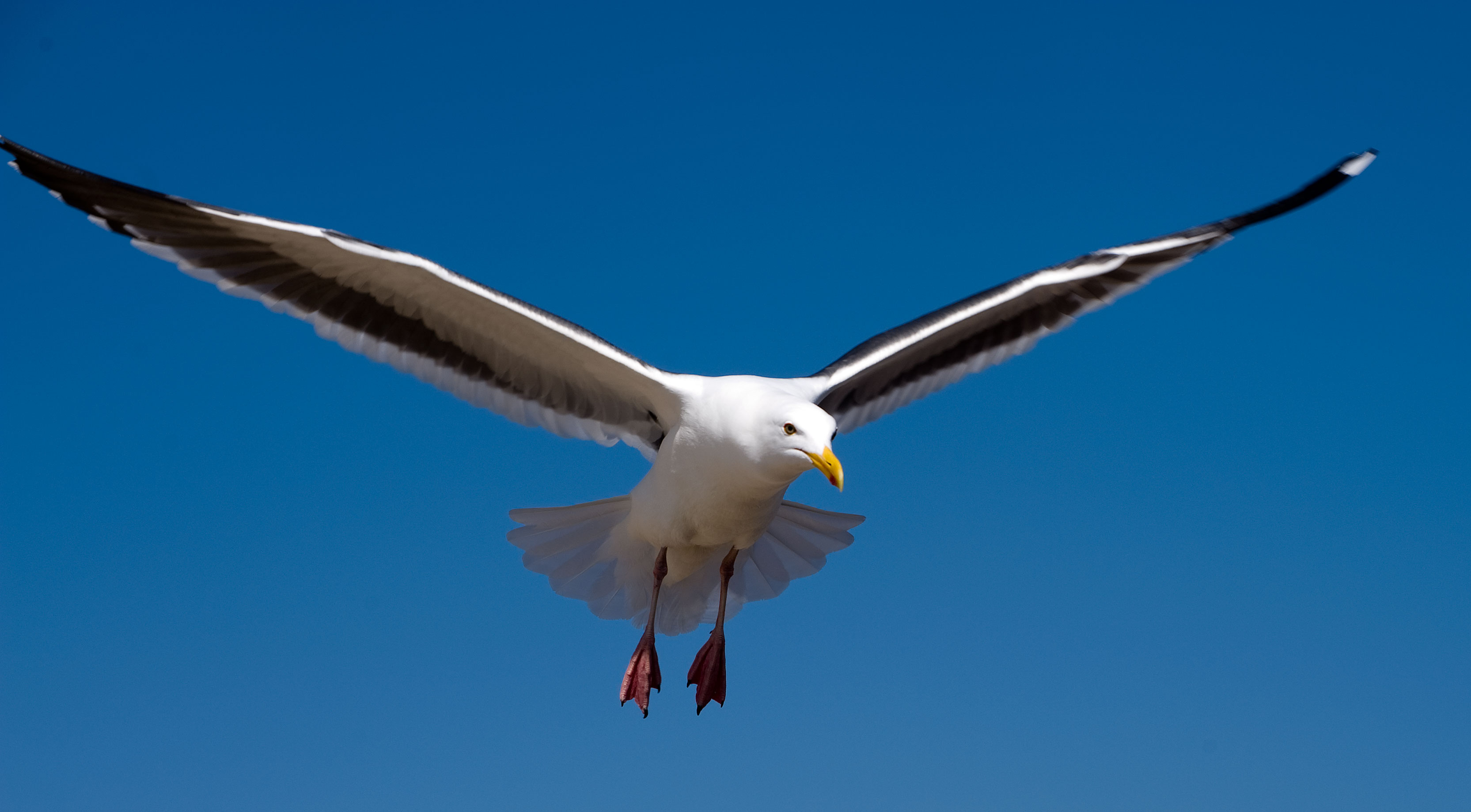 Seagull - Photo#02