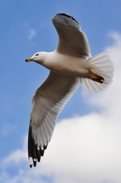 Seagull - Photo#03
