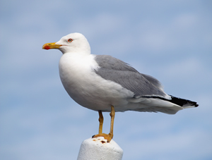 Seagull - Photo#04
