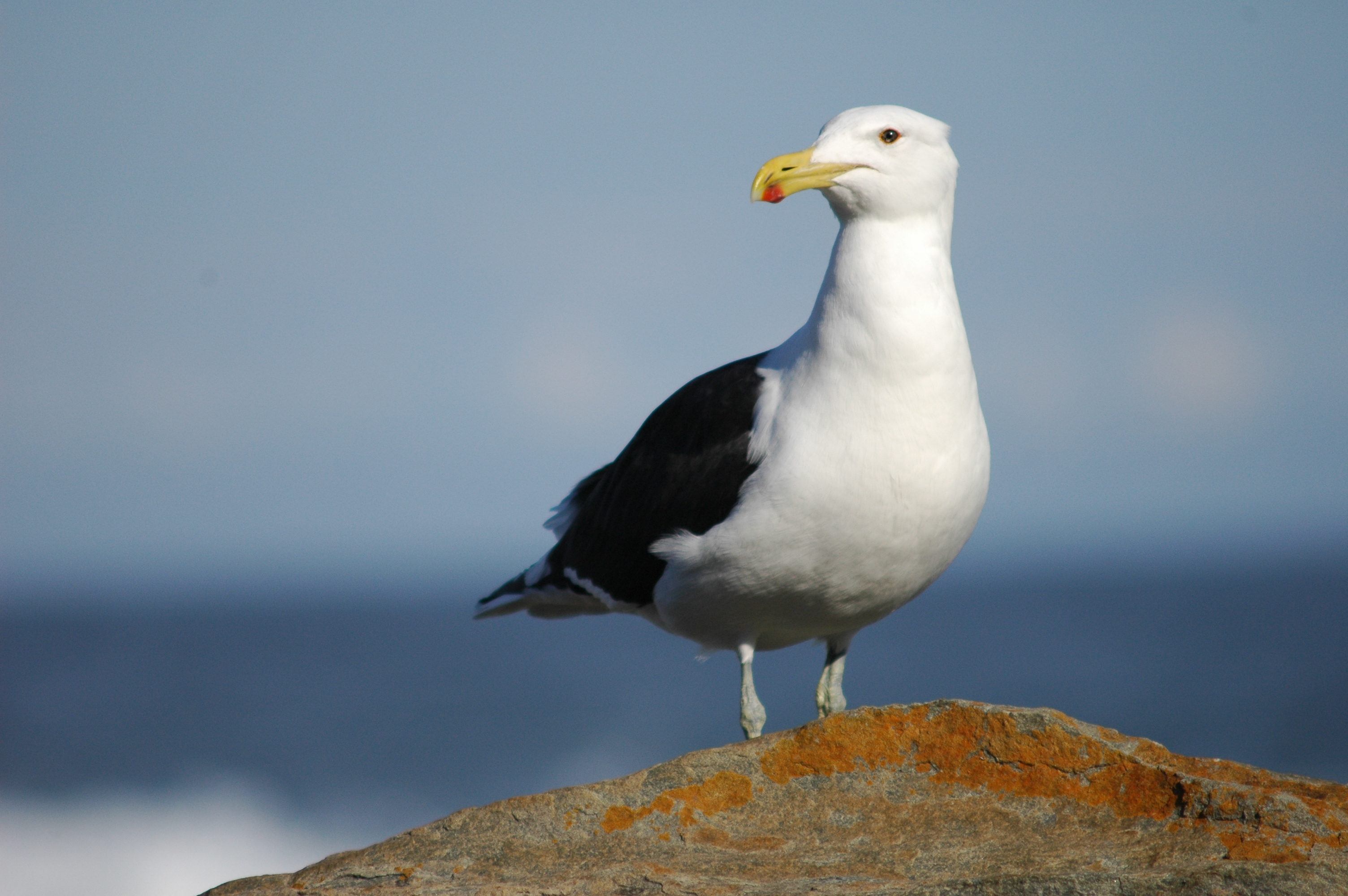 Seagull - Photo#05