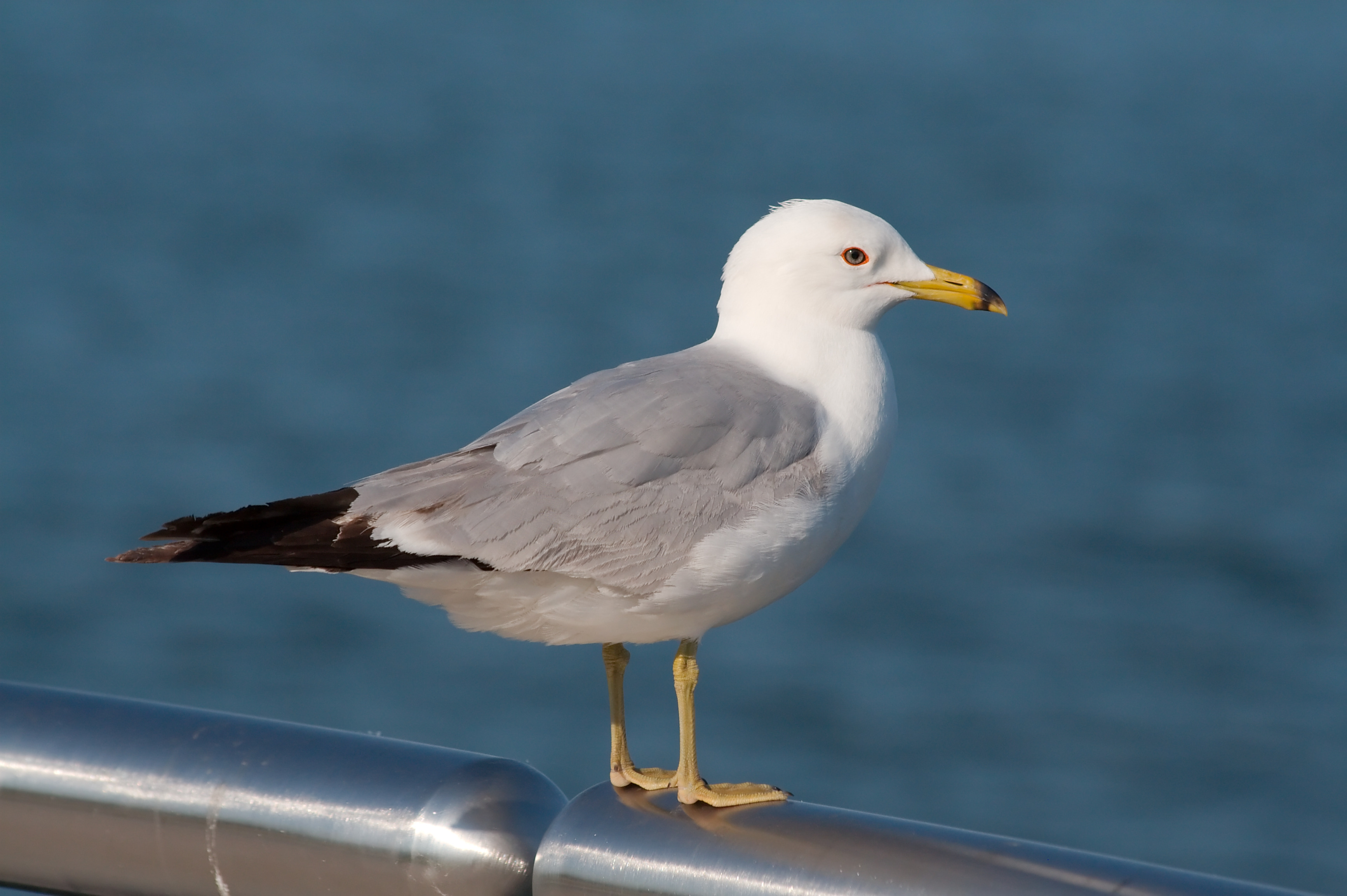 Seagull - Photo#07