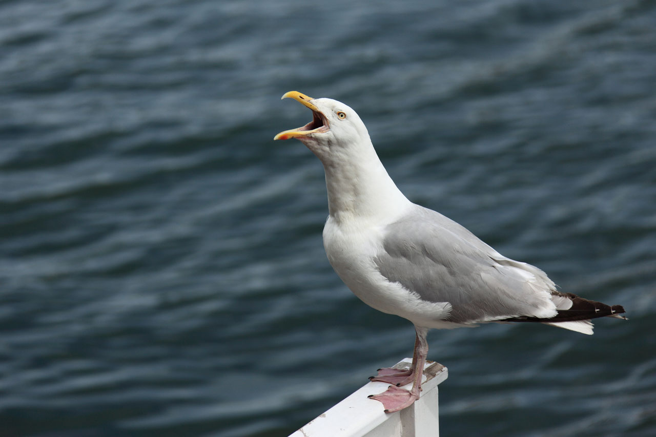 Seagull - Photo#08